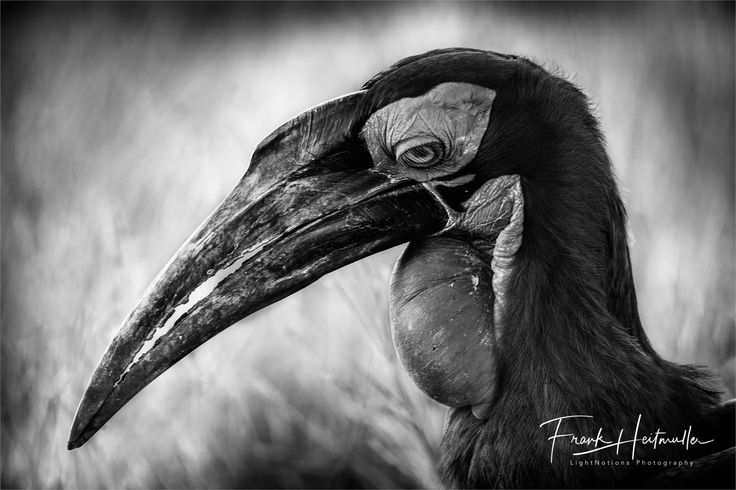 This has got to be the ugliest, prettiest bird out there and I love it in Black & White... ok, so I admit I just love Black & White. Taken on a recent trip to Kruger. With Christa Goosen #Wildography