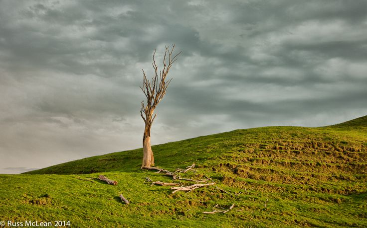 """""""Forest Remnant"""" at Tolaga Bay, on the East Coast of NZ's North Island. This proud and formerly dominant tree remains to gently remind us of what once was."""
