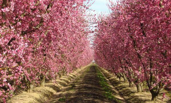 Fresno California.  Orchard