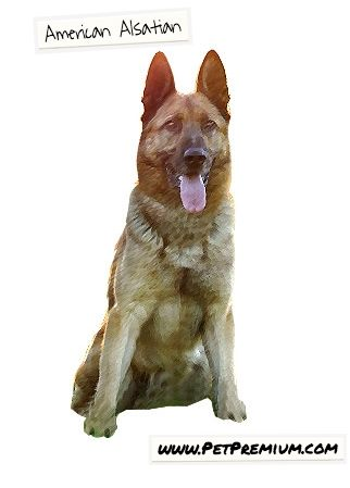 The American Alsatian is a well-behaved dog that rarely barks or whines. While they are excellent with children and other household pets, they are quite aloof to strangers. These dogs have a low activity level and are extremely calm, even when they are left alone for long periods of time.