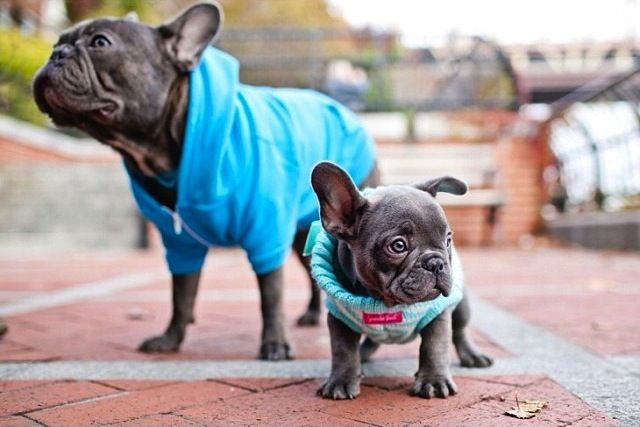 'Henry and Penny', French Bulldogs.