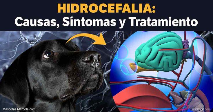 la Hidrocefalia o agua en el cerebro, significa que existe una acumulación anormal de fluido cerebroespinal dentro del esqueleto y cerebro de la mascota.