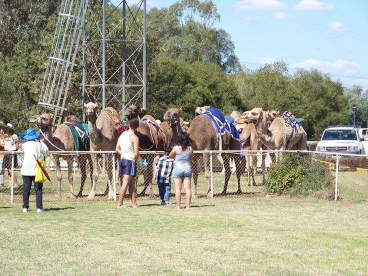 The line up before one of the races at the Annual Forbes Camel Races.