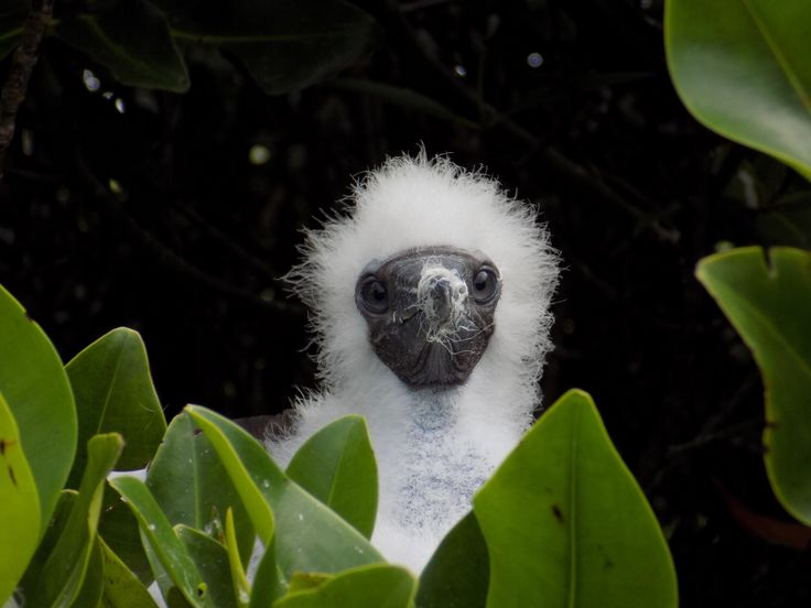 Red footed booby baby,Genovesa-Galapagos #red #footed #booby #baby #white #cute #wildlife #galapagos #fauna