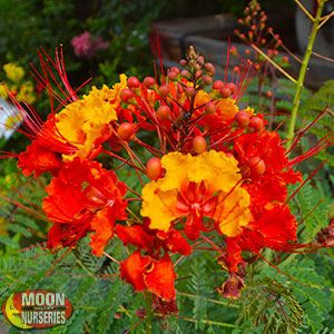 (Hummingbird Attractor)  Red Mexican Bird of Paradise