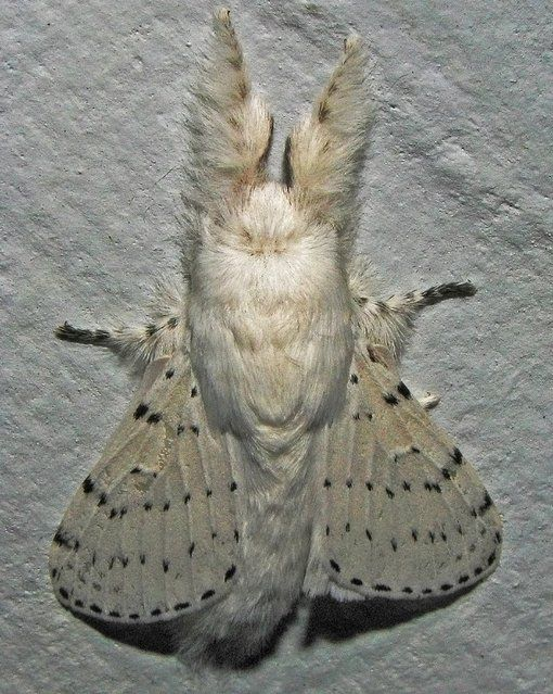 Venezuelan Poodle Moth - This one is so furry and cute, wouldn't mind to have for a pet! hee hee!