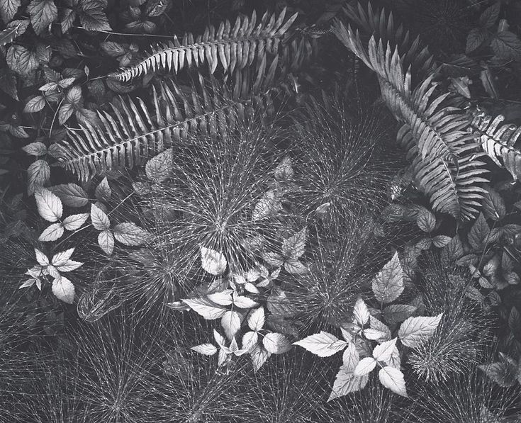 1932 Leaves, Mills College, Oakland, California by Ansel Adams