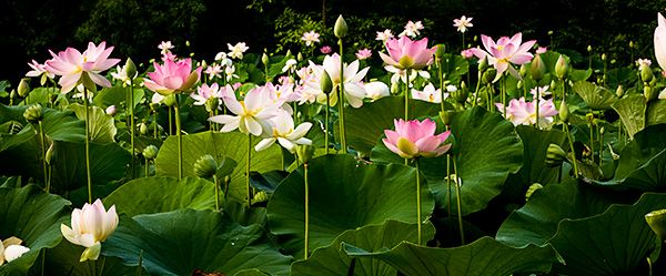 Beautiful Flower Pictures Blog – Lotus Blossoms at Kenilworth Aquatic Gardens in Washington DC