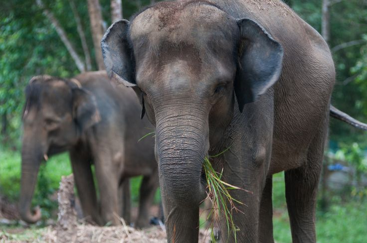 International Outrage May Have Delayed Further Elephant Habitat Destruction    New reports have found that a rogue palm oil company has stopped clearing the forests where endangered Sumatran elephants live.