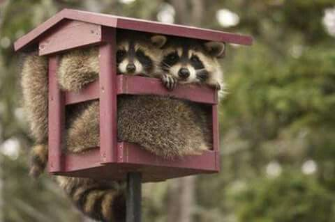 Cats And Raccoons Getting Along