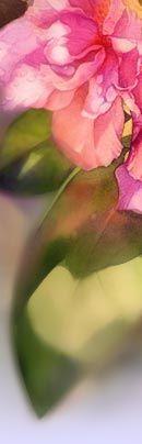 Разнообразные розы, тюльпаны, гехеры и гортензии, жасмин, сирень и другие цветы и кустарники для сада Вашей мечты! Садовый Центр - Дубрава.