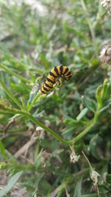 Black and yellow striped caterpilla at the sand dunes