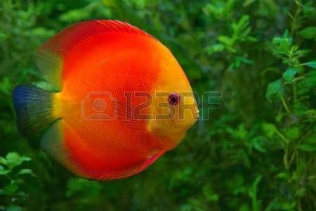 Discus Symphysodon ciclidi rosso in acquario il nativo pesci d acqua dolce del bacino del Rio delle  Archivio Fotografico