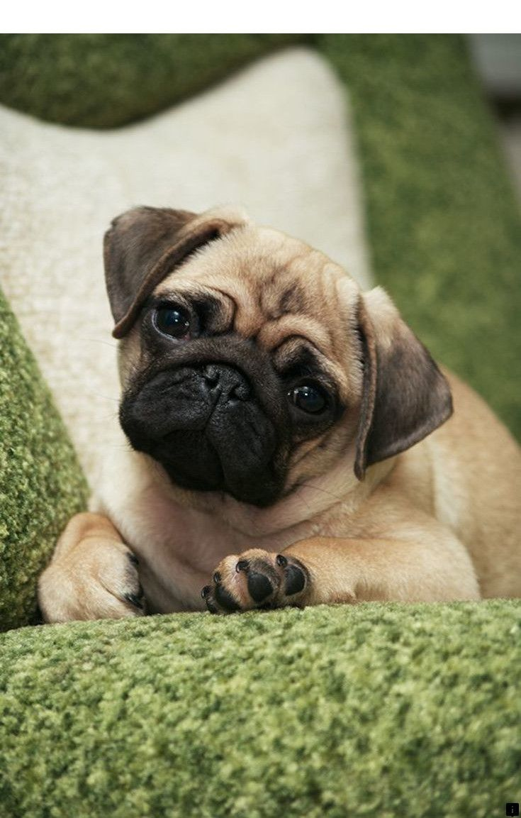 Find Out About Pug Puppies Near Me Just Click On The Link To