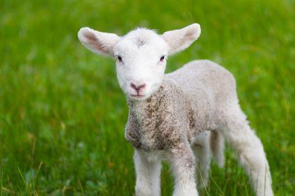 Animals to raise: Sheep :-D!