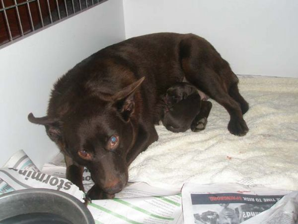 Australian Kelpie photo | ... australian kelpies puppy photos previous photo album home next photo