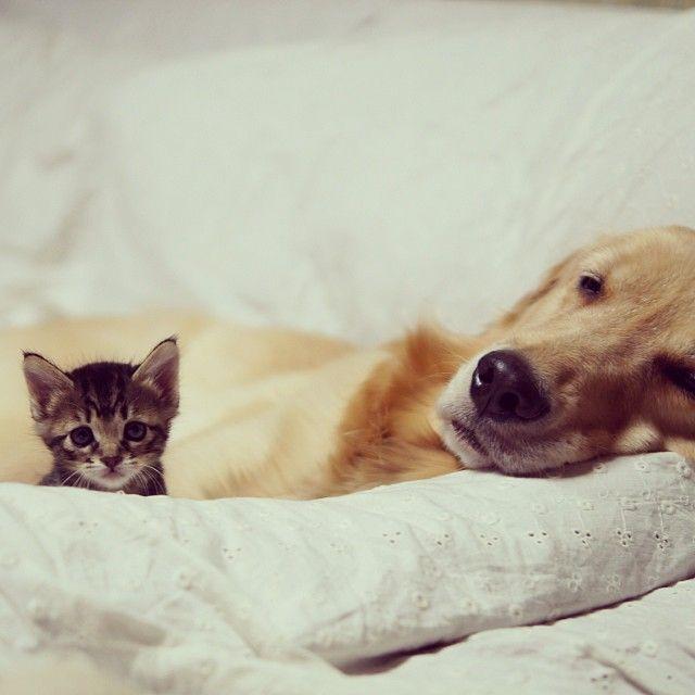 kitten-rescued-golden-retriever-ichimi-ponzu-jessiepon-23 - Copy - https://www.facebook.com/different.solutions.page