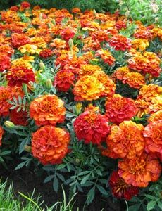 The pungent smell of French marigolds deters whitefly from your tomato plants. companion planting - used for many years - look for natural plants to grow for natural sprays - I grow completely organic now.