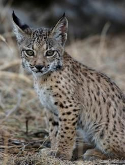 Hope for a tricky breeder: could new information safeguard the #Iberian #lynx from further declines?   biosphere