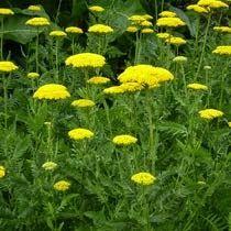 Piante e Fiori: Piante perenni che fioriscono in estate pag 2
