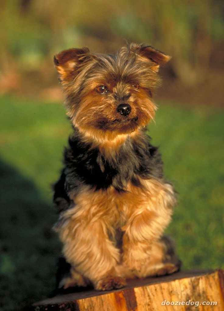 yorkshire terrier dog breeds best 25 yorkshire terrier haircut ideas on pinterest 5818