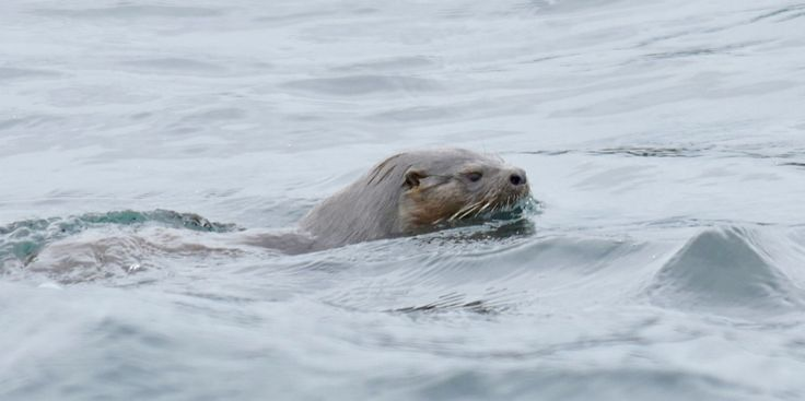 Sea Otter; Patagonian Pacific coast, Southern  Chile. Nikon D7000  Lense  18-140mm f5.6  s1/3200 ISO 500. Overcast, cold conditions, hand held from boat at 20m. This image cropped from original. Local people say they are difficult to spot.