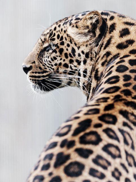 """Leopard from behind"" Rothenburg Zoo, Luzern, Switzerland. || Original photo by Tambako The Jaguar, on flickr ~ http://www.flickr.com/photos/tambako/7046303621/"