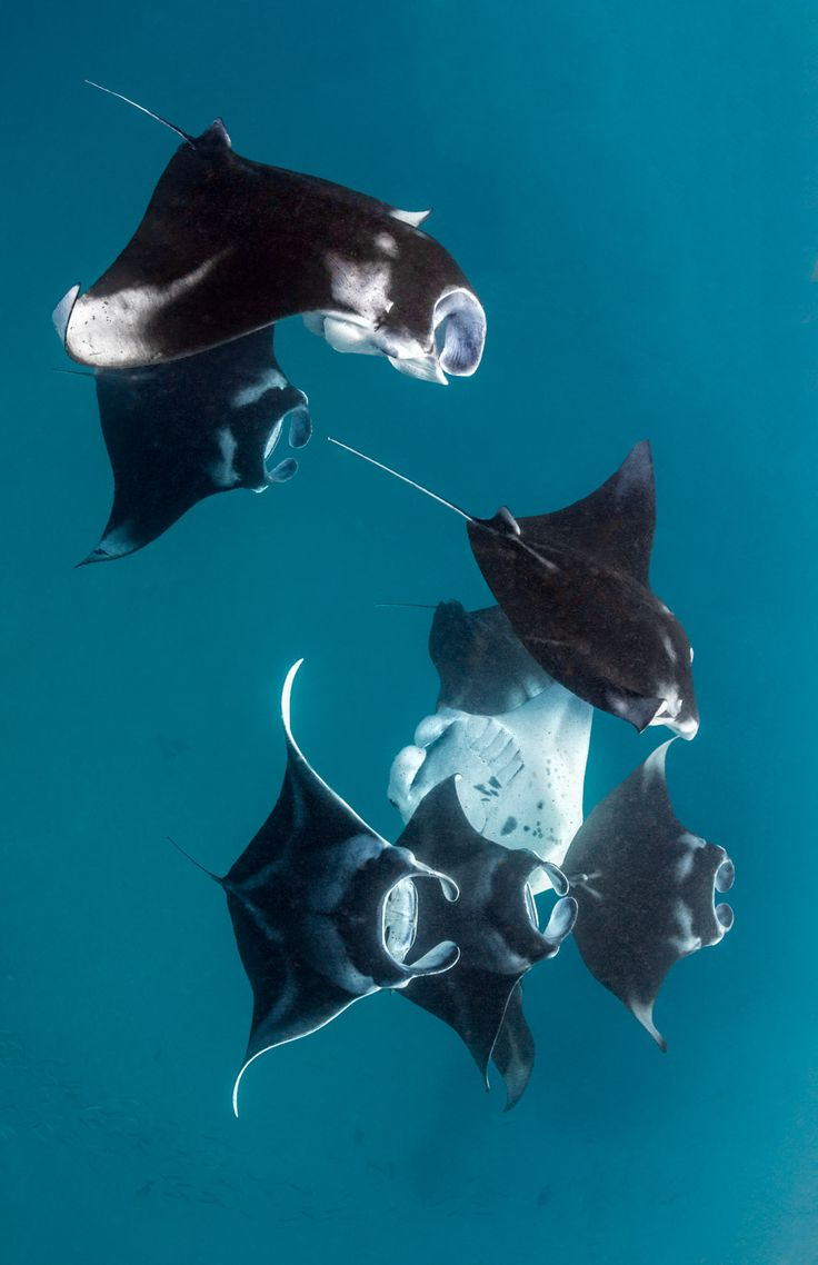 Manta ray swimming underwater with its dorsal fins spread open viewed - Hanufaru Bay_5607 Draft 4w Jpg Nature Wildlife Underwater Photography By Adriana Basques