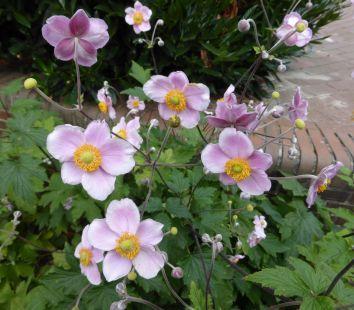Einer der schönsten Herbstblüher ist die japanische Anemone. Die richtige Sortenwahl und ein geeigneter Standort sind die Garanten für ein gutes Wachstum. Auf hohen Stielen tanzen die Schalenblüten der Anemonen Weiterlesen →