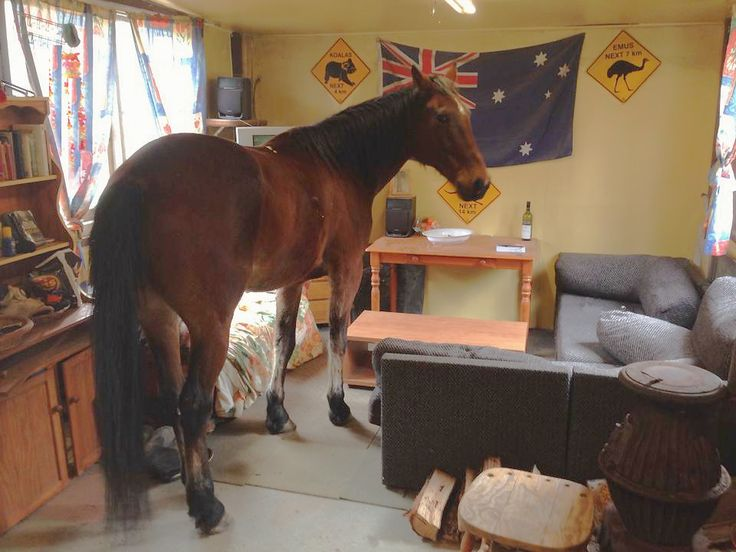 Junior - our new horse - regarded as a equine comedian -looks at the couch then the wine . I wonder it is goes down well with chaff!