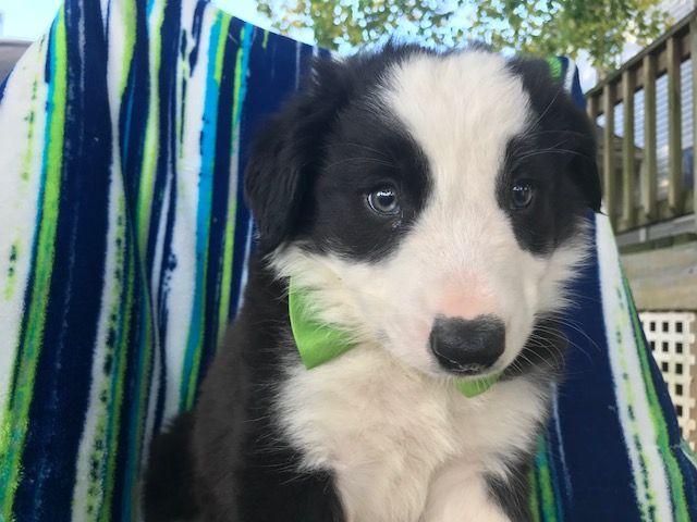 Border Collie puppy for sale in QUARRYVILLE, PA. ADN-52176 on PuppyFinder.com Gender: Male. Age: 9 Weeks Old