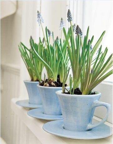 Muscari - blauwe druifjes in de vensterbank. In een kop en schotel. Voorjaar!