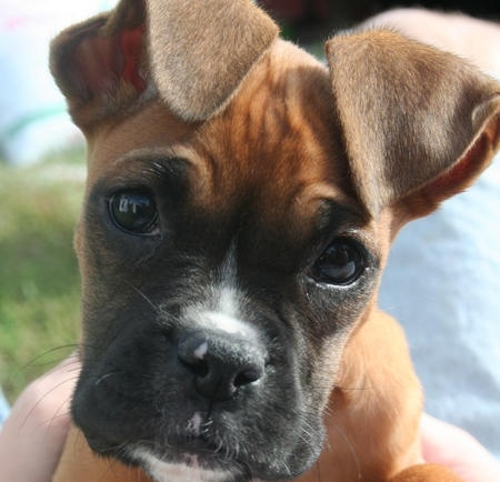 Boxers!: Face, Boxer Dogs, Animals, Boxer Puppies, Puppys, Boxers