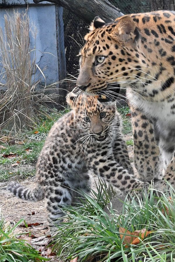 A 4-month-old Amur Leopard cub at the Brookfield Zoo doesn't know that he's one of only 300 of these big cats alive today. He just wants to play! The 20-pound male cub, named Temur (pronounced Tee-moor), has been bonding behind...