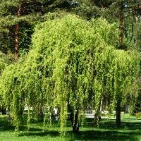 The Corkscrew Willow tree, Salix matsudana, 'Tortuosa', is a small to medium-sized, upright spreading tree of about 30 feet in height with a 15-foot-spread. Like most willows, Corkscrew will grow most vigorously in moist, cool soil and temperate climates!
