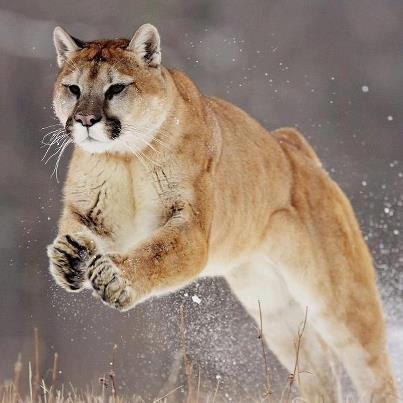 Freckled Canadian Cougar 15