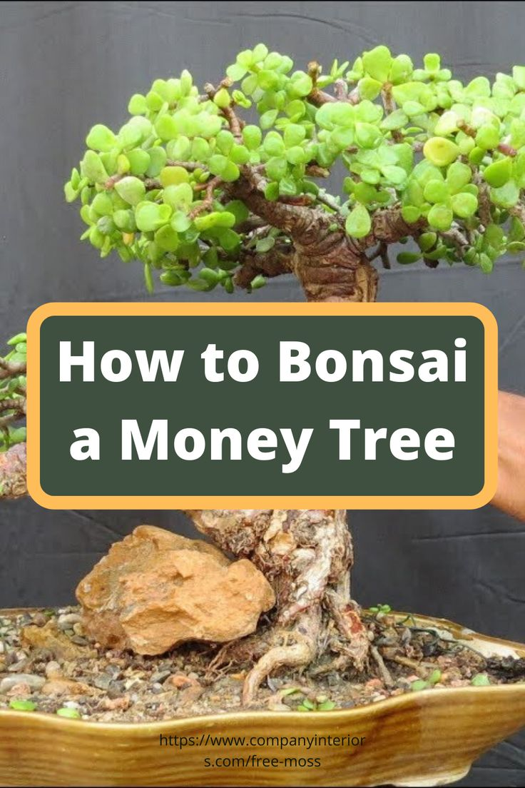 Learn how to bonsai starting with money tree in 2020
