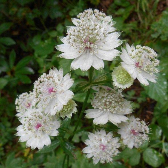 Astranzia maggiore astrantia major - famiglia delle ombrellifere - flora spontanea