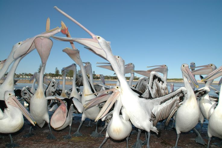 The pelicans at The Entrance just love the extra fish each day! #pelicans #theentrancensw #centralcoastnsw
