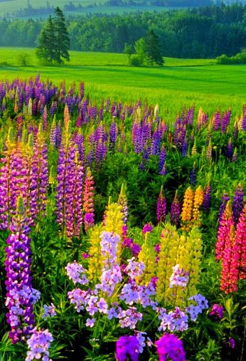 Wild flowers, Lupines they are perennials and will grow in your garden Mine come back every year. Just feed with Miracle Grow Garden feeder 2-3 times a month in the spring and summer.