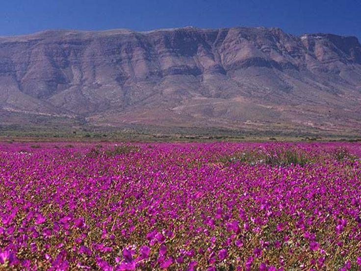 Desierto Florido , el norte de Chile . Fenómeno climático que se produce en el Desierto de Atacama , el más árido del mundo , que consiste en la aparición de una amplia variedad de flores