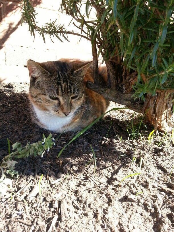 Abby ♥♥LOVES♥♥ sleeping in the warm dirt under a shady bush  :-)