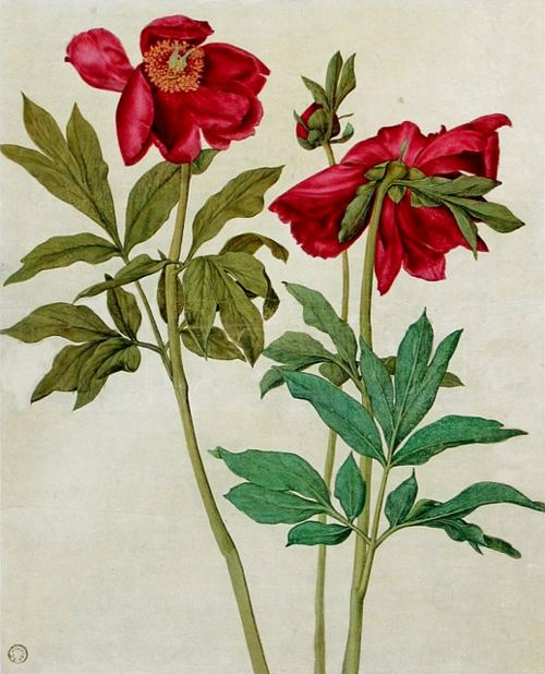 wasbella102:  Albrecht Dürer:  Peonies  Via: All the things Nancy loves