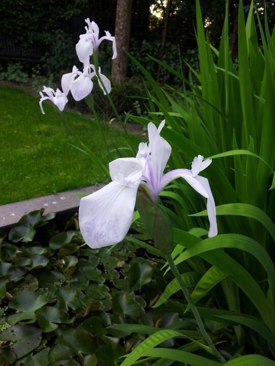 Irissen in de vijver