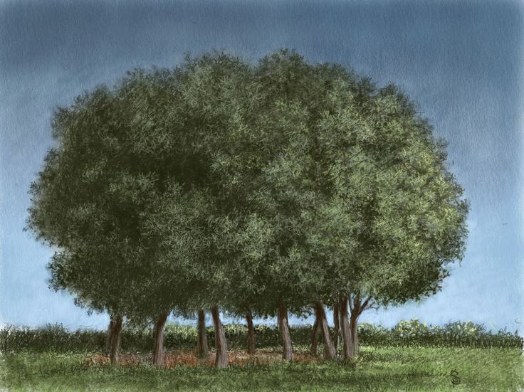 Circle of trees draw in a Tuscan garden. IPad