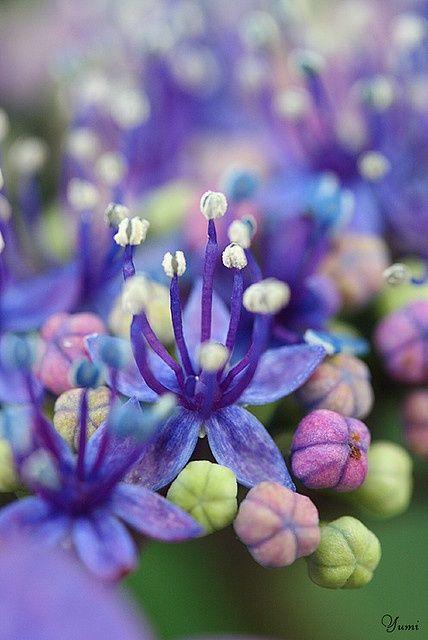 Hydrangea, close up