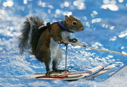 Ski squirrel..for Stacey; I have gathered from Amber that you have a thing for squirrels...