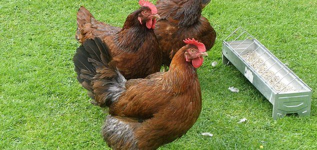 FACT # 11- Rhode Island Red Chicken Breeds..... Rhode Island Red's originated from America and are known as a 'dual purpose' chickens. This means they can be raised for either eggs or meat. They are one of the most popular backyard chicken breeds because they are tough and lay lots of eggs.