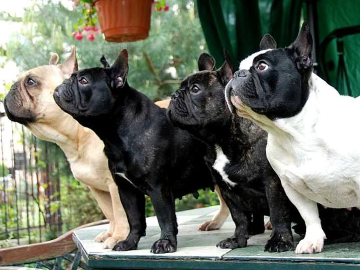 bulldog francés | Características físicas del bulldog francés