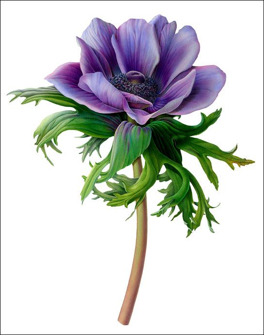 Great picture reference for colouring flowers. (Susannah Blaxill, Purple Blue Anemone)